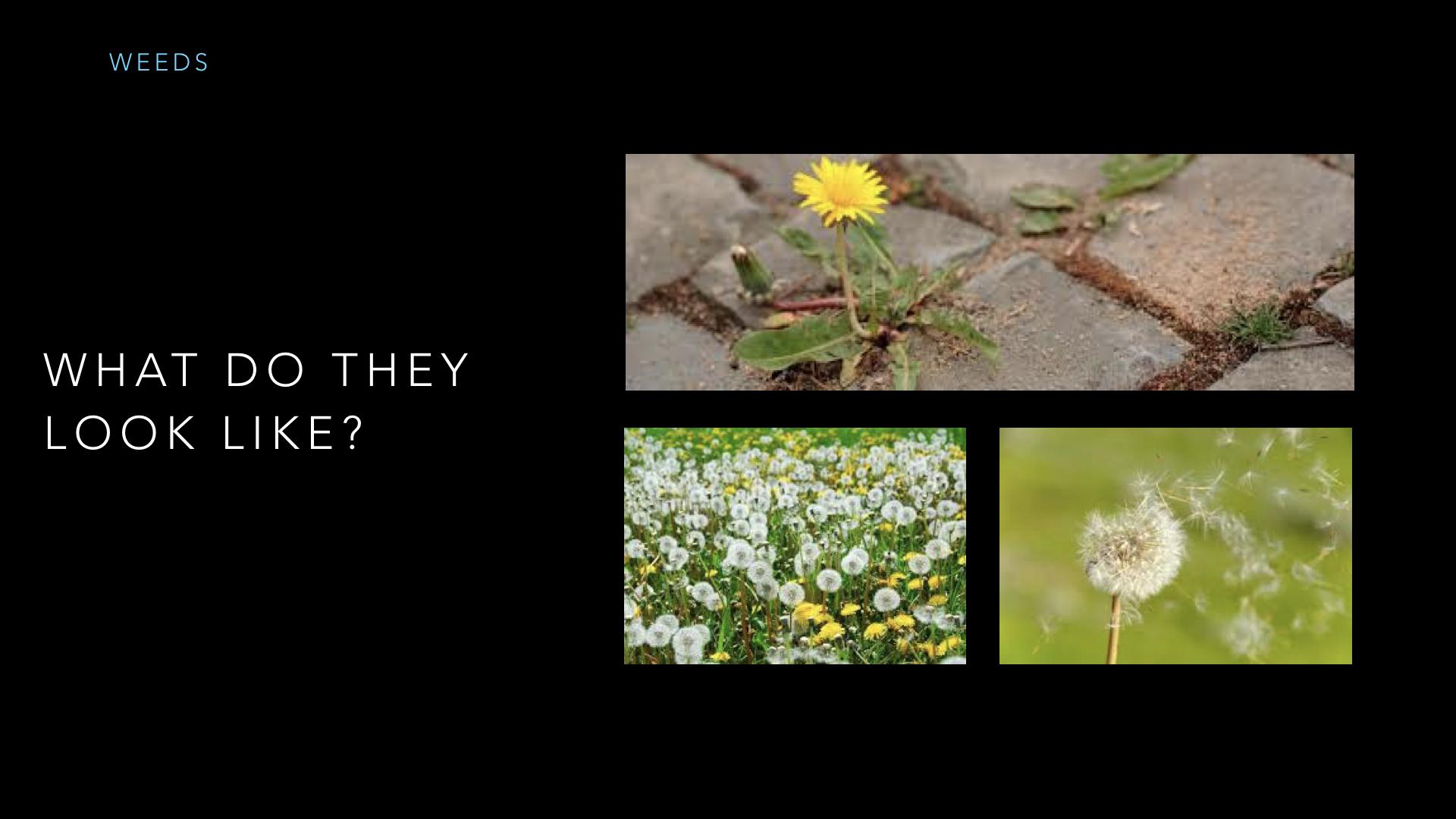 Parables - Weeds - SV - Sept19.012.jpeg