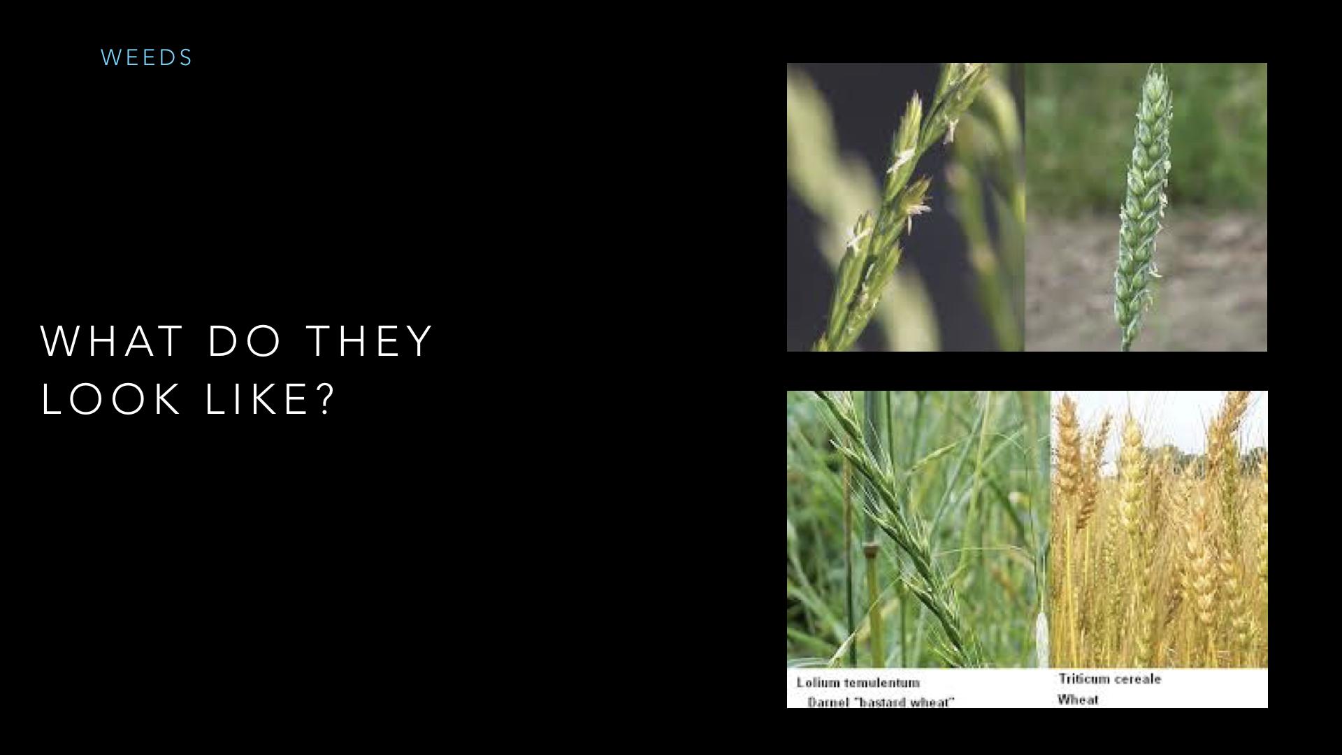 Parables - Weeds - SV - Sept19.013.jpeg