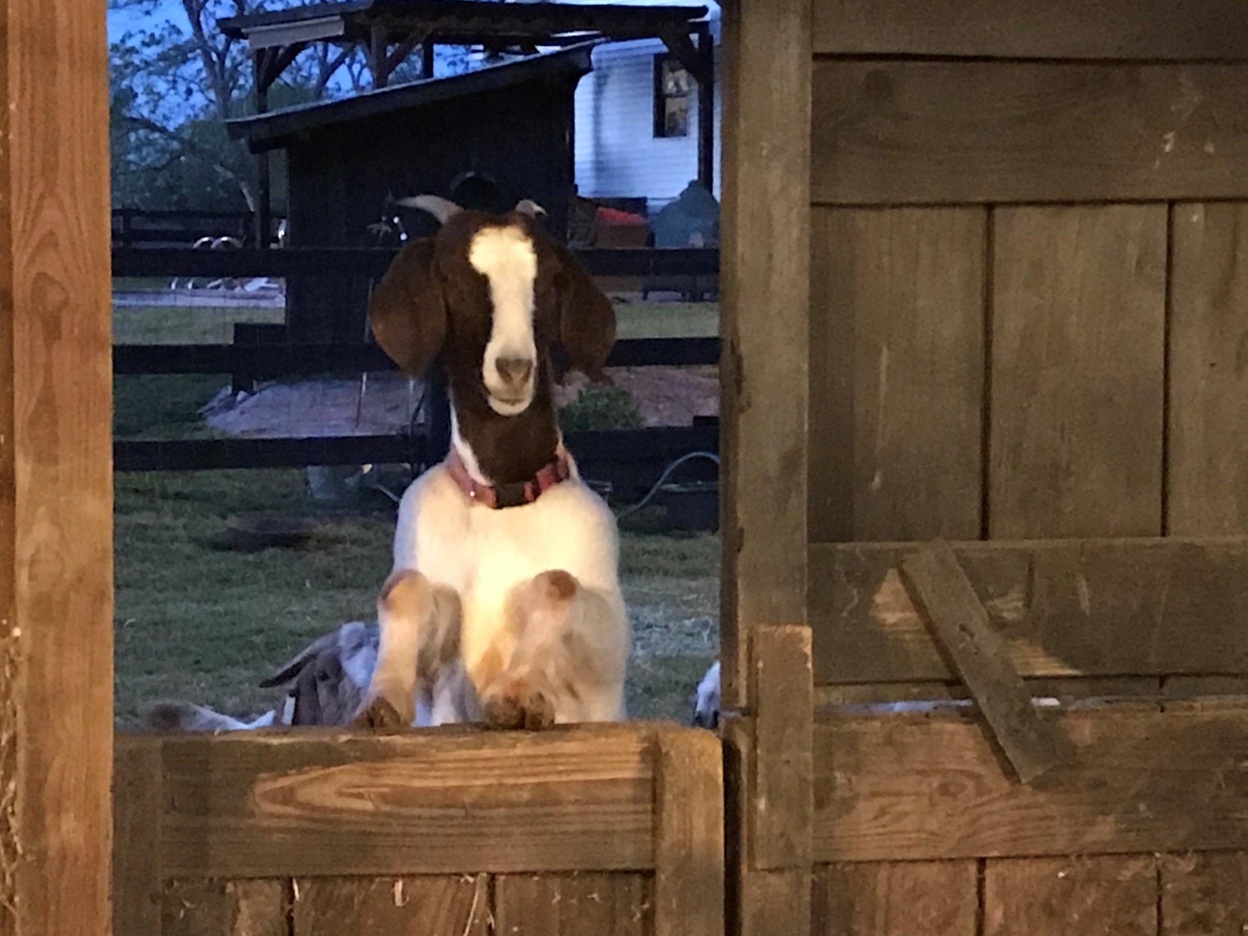 goat door - Copy - Copy.jpg