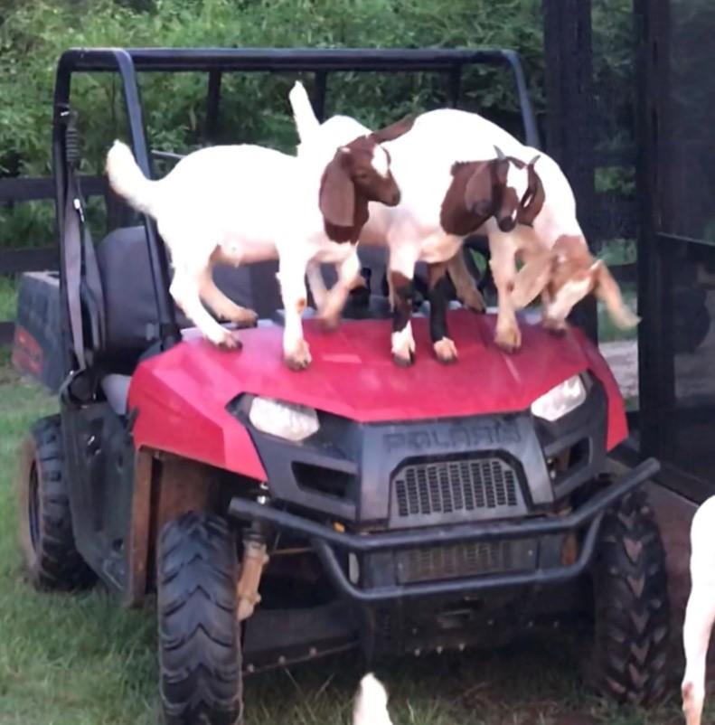 goats on ranger.jpg