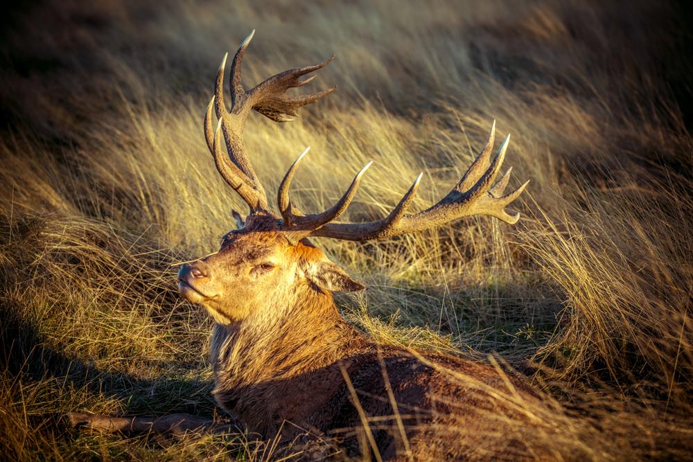 Golden Stag in Bushy Park by Cristina Schek (7).jpg