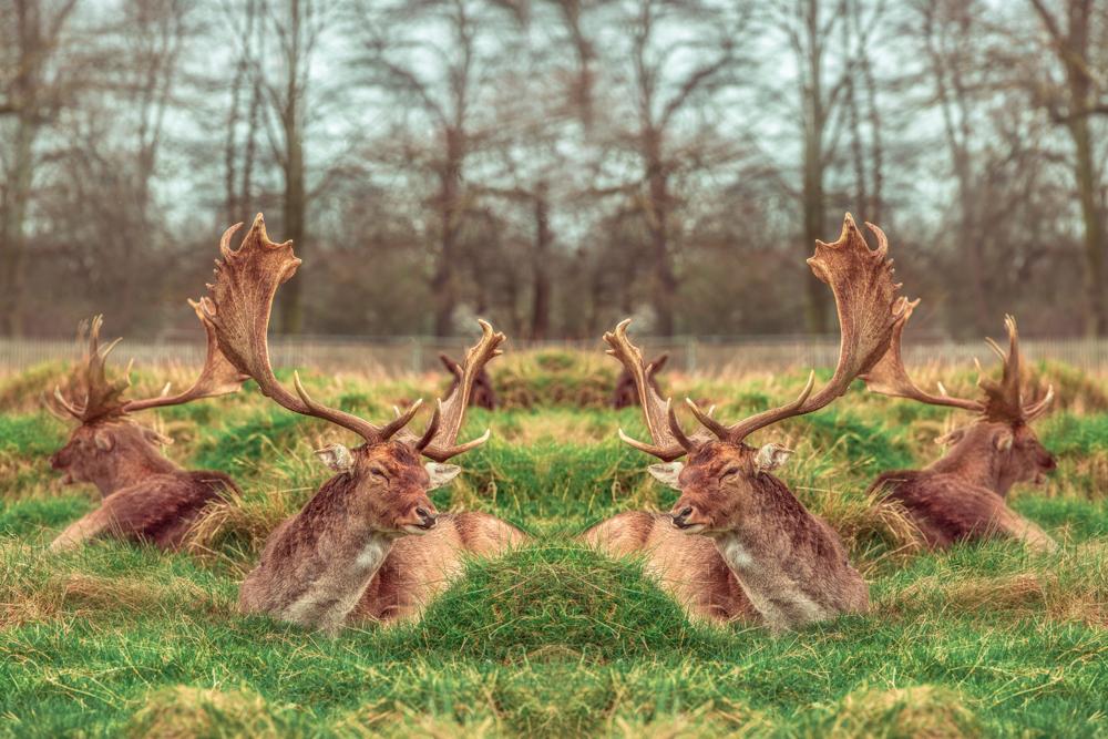 Autumnal Deer in Bushy Park by Cristina Schek (1).jpg
