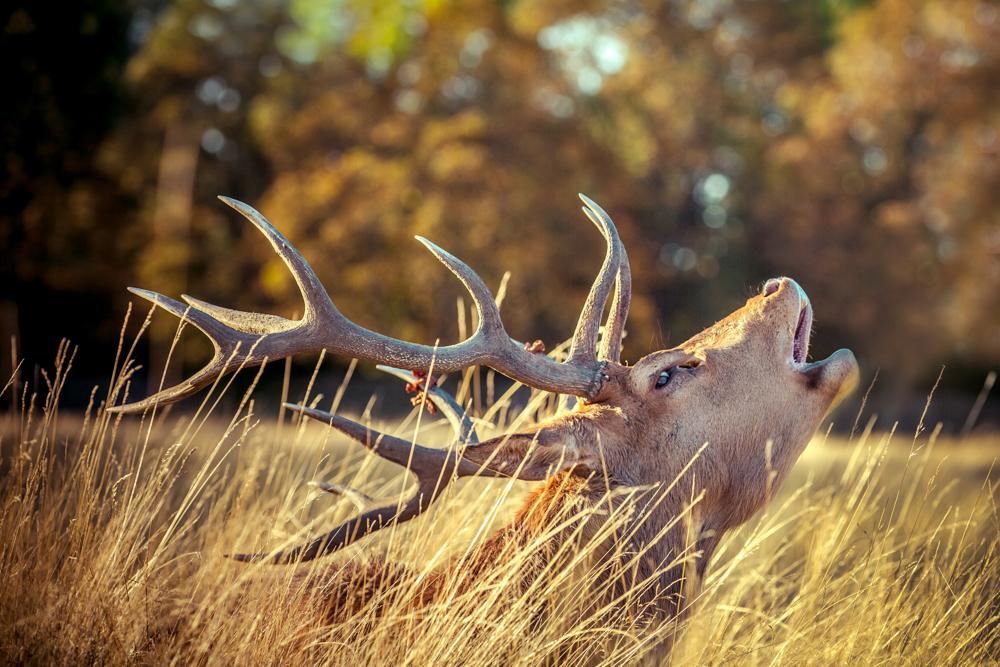 Golden Stag in Bushy Park by Cristina Schek (6).jpg
