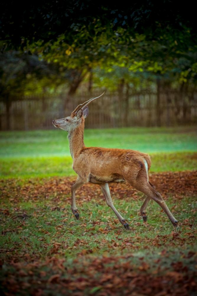 Golden Stag in Bushy Park by Cristina Schek (11).jpg
