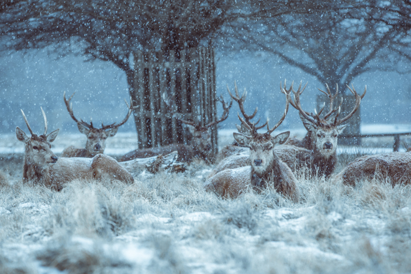 Winter Deer in Bushy Park by Cristina Schek (b) (1).jpg