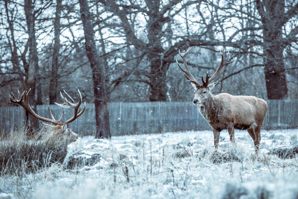 Winter Deer in Bushy Park by Cristina Schek (1).jpg