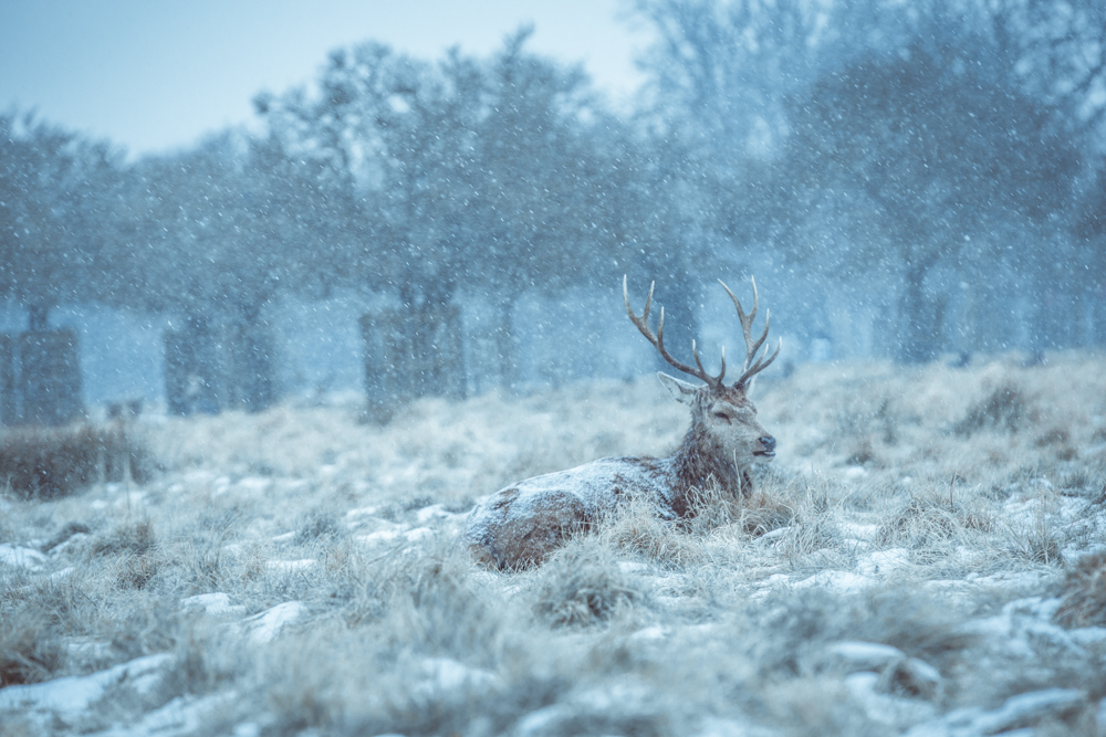 Winter Deer in Bushy Park by Cristina Schek (5).jpg