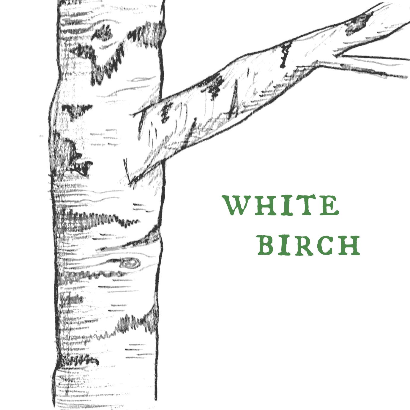White Birch.png