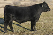 ONeills Voyager   Son of Royal Lady Elaine  Sold for $6,800 to Callies Angus at the Sioux Empire Farm Show