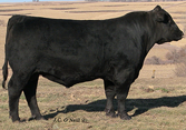 ONeills Expedition 563  Son Owned by Farmers Maine Anjou, OH Sold for $10,000