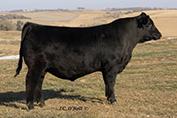ONeills Pacesetter  Son Calf Champion 2014 Denver Bull Sale Sold half interest for $7,500 to Joel Buseman