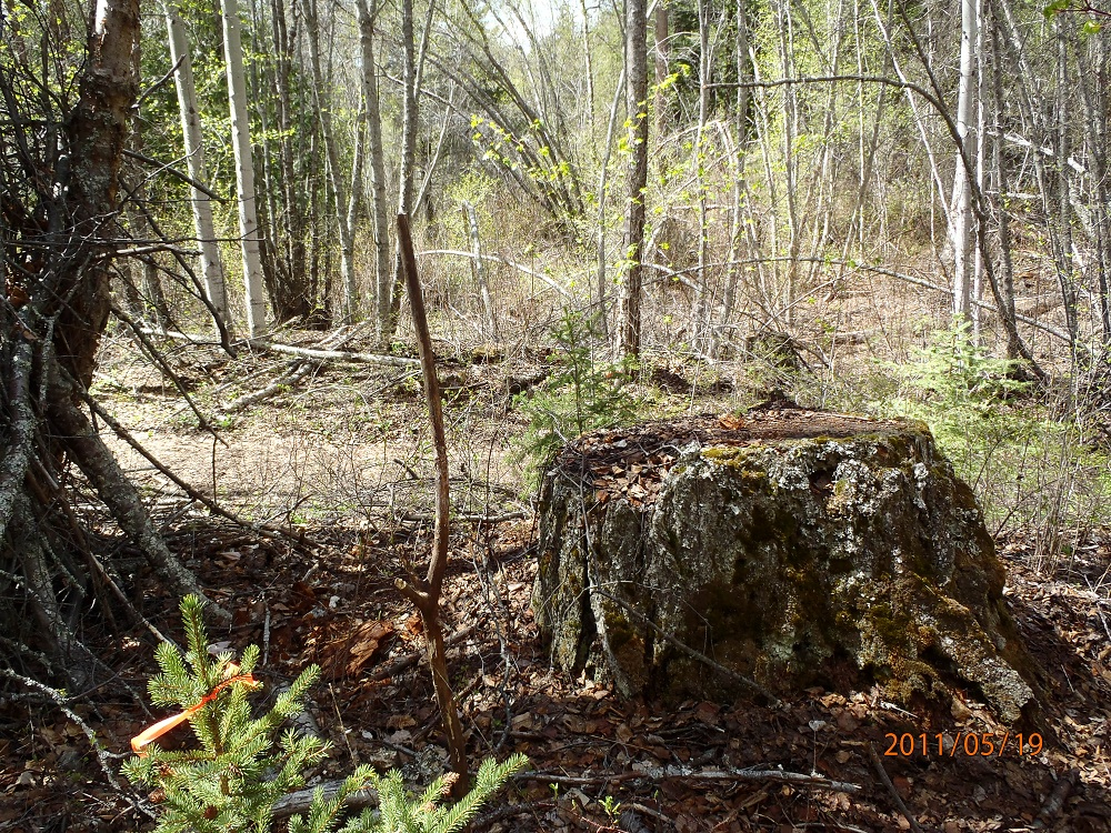 Above is an old growth stump surrounded by the young deciduous forest that grew in after the logging.