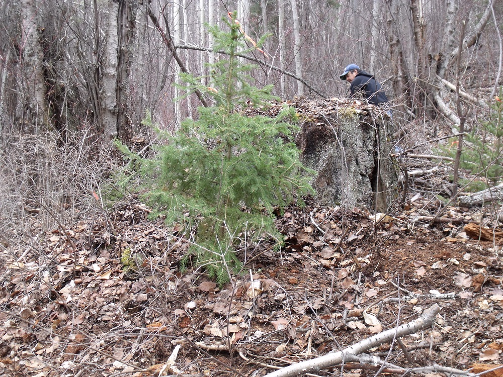 Trees were transplanted beside old growth stumps.