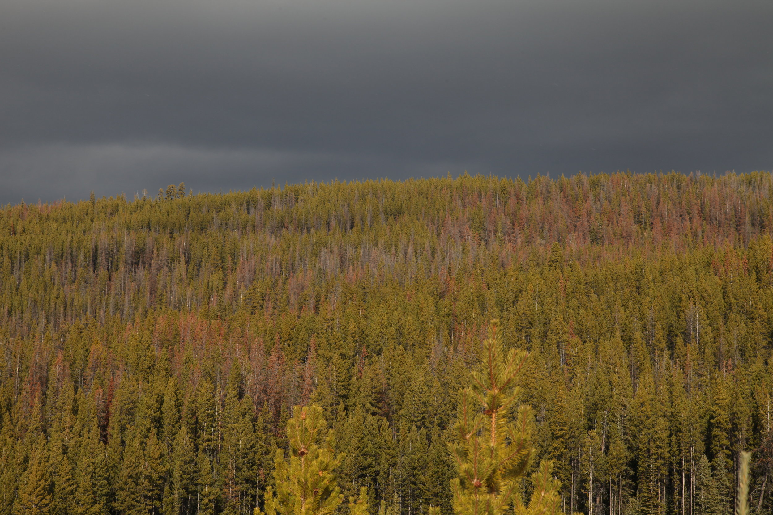 The Mountain Pine Beetle is one form of natural disturbance present in the Sallus Creek watershed. We are continuing to work to restore the resilience of Xaxli'p forests to natural disturbances.