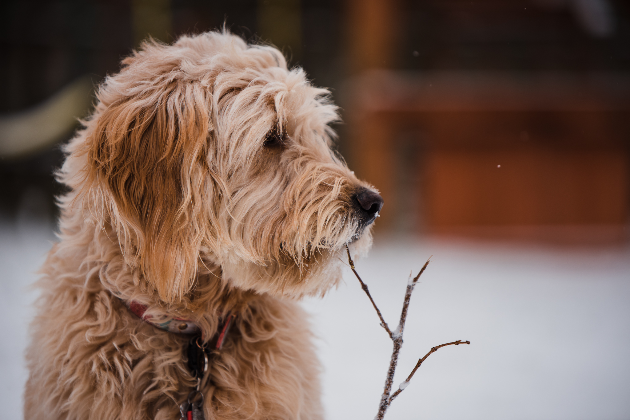 Goldendoodle with stick