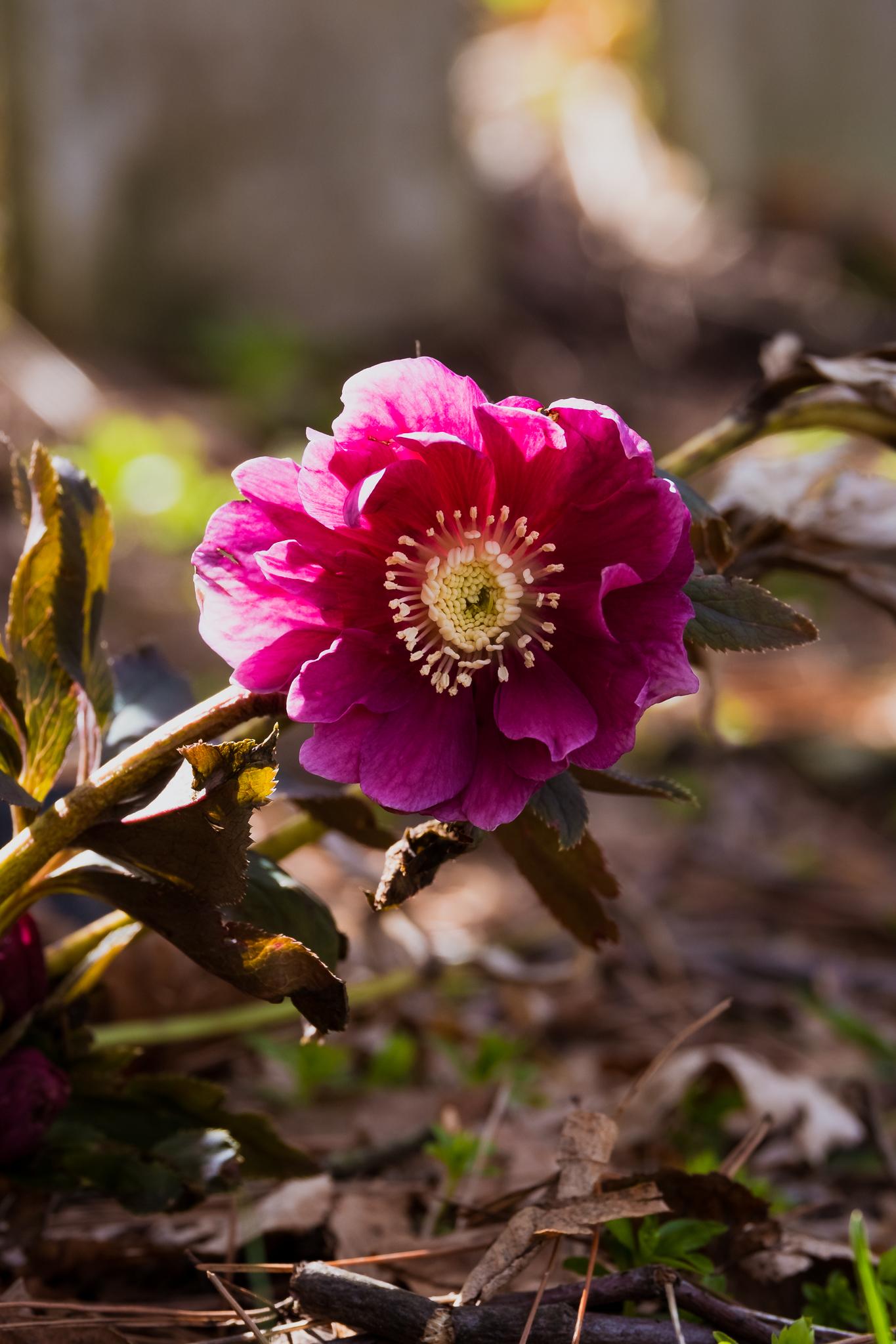 spring flower in pittsburgh
