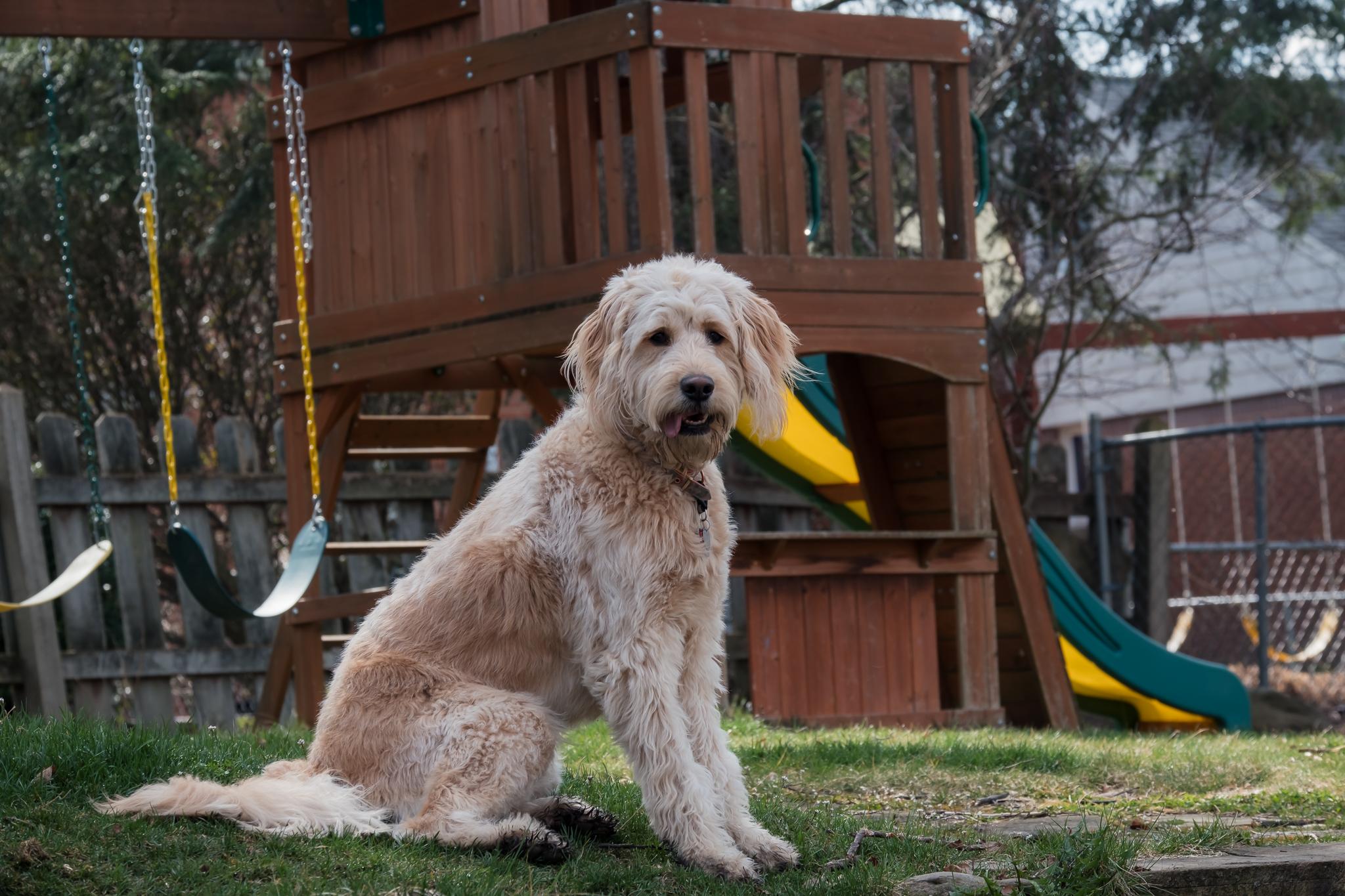 goldendoodle in back yard