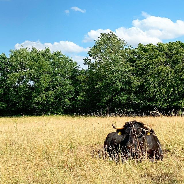 Der Welsh Black Bulle sonnt sich ein wenig und lässt sein schwarzes Fell mal so richtig aufheizen 😂 wir würden ja in den Schatten zu den anderen gehen. Naja, einen Verrückten gibt es ja immer in der Truppe, oder? 🤪 #EinStückLand #welshblack
