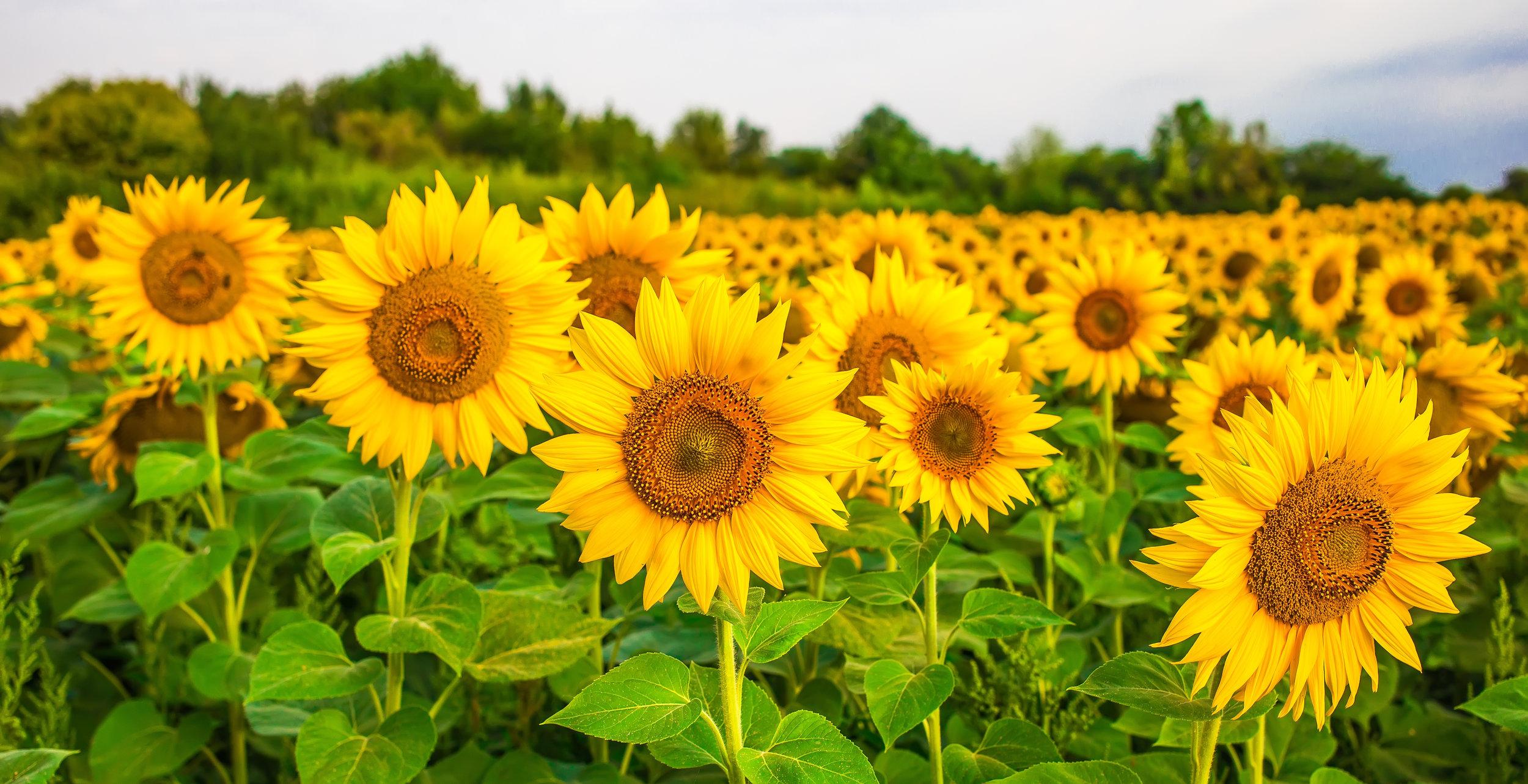 AdobeStock_170164853-sunflower.jpeg