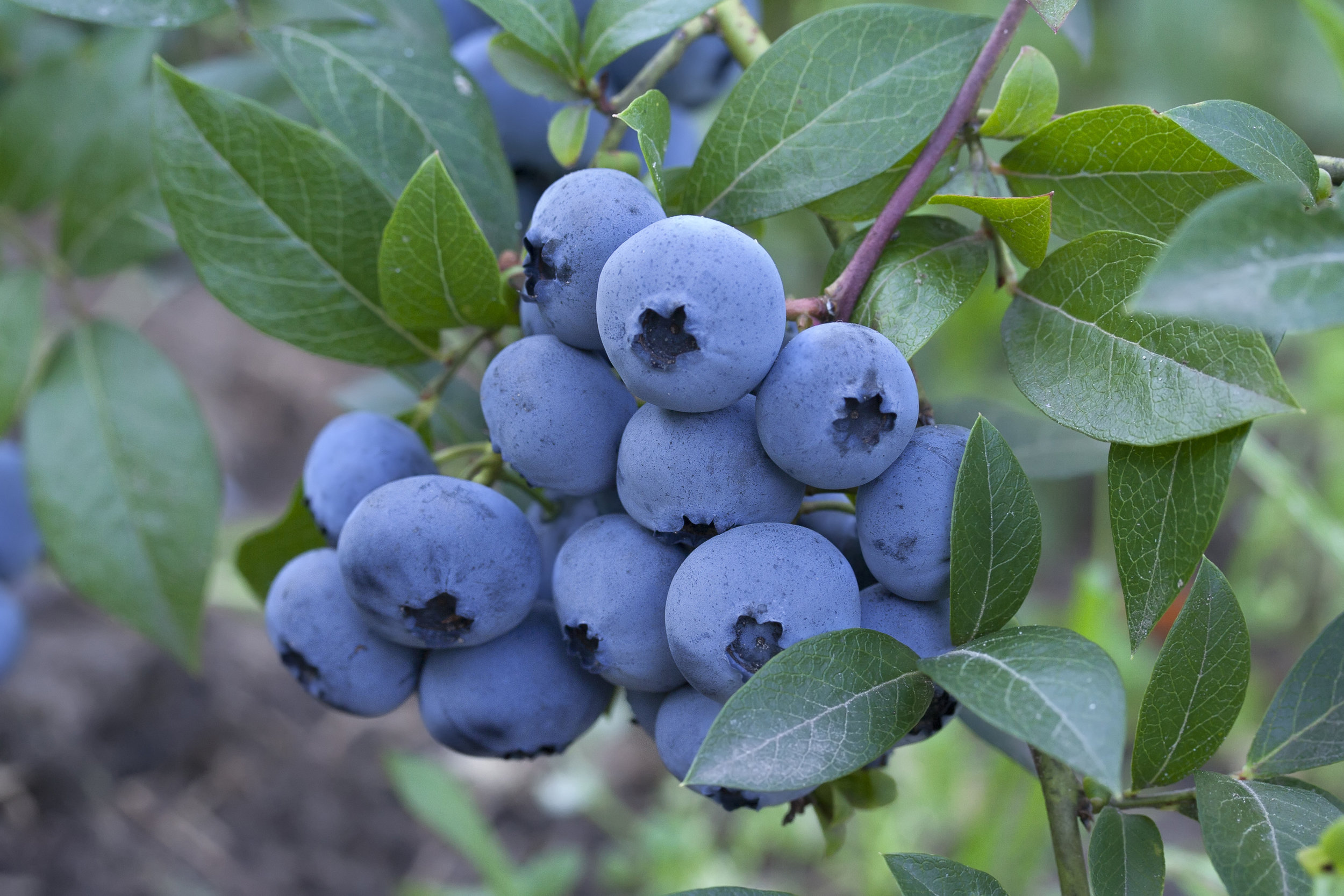 AdobeStock_blueberries.jpg