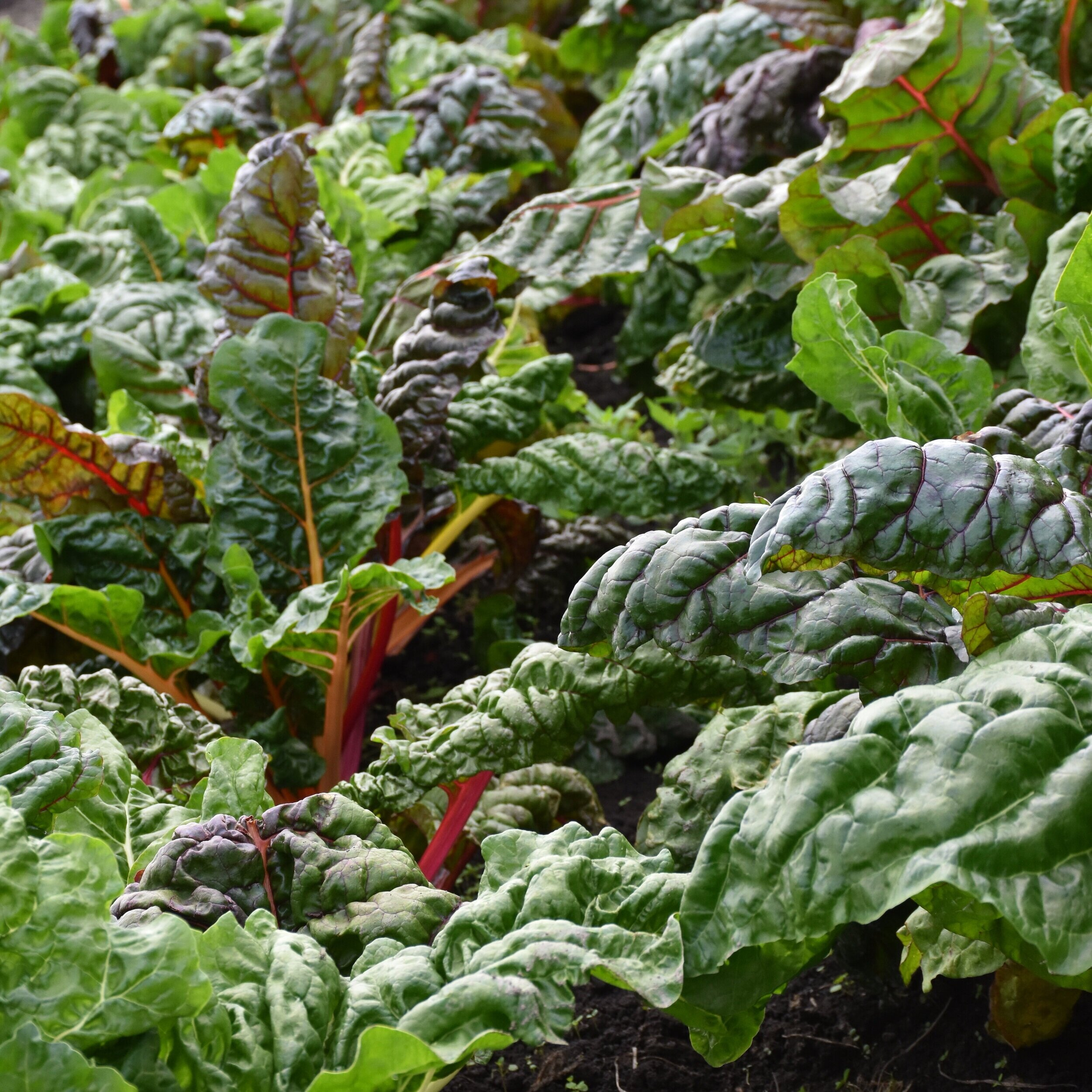 Red Dog Farm Red & Rainbow Chard