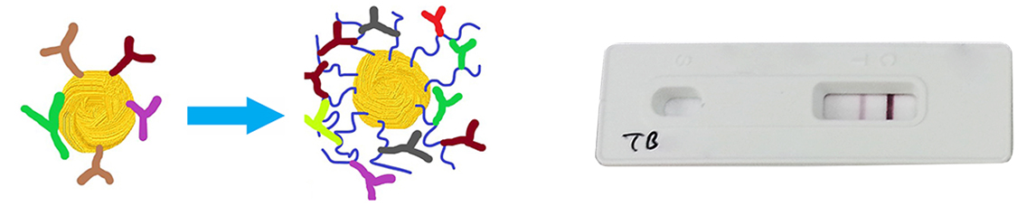 Polymer of Enhancement of Gold Nanoparticle Conjugation with Antibody