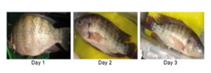 Bacterial Infection of Fish