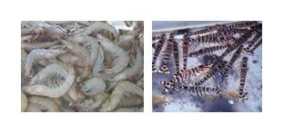 Bacteria Infecting Shrimp