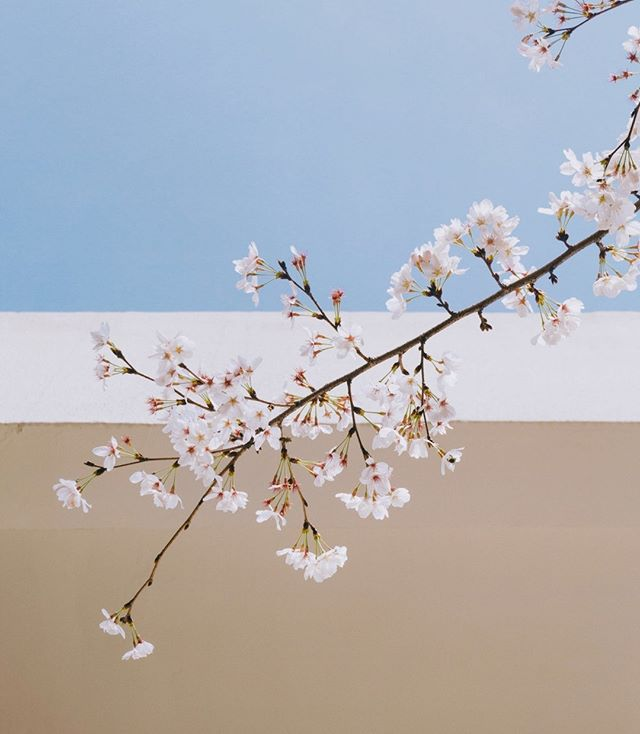 TBT to Sakura Season @artehosconcepts - - - - - - - - - - - - - - - #minimalism#design#pasteltones#interior123#eclecticdecor#Japan#sakura#pastelwalls#pastel#flowersofinstagram#plantsofinstagram#cherryblossom#digitalmarketing#architecture#interiordesign#branding#hospitalitybranding