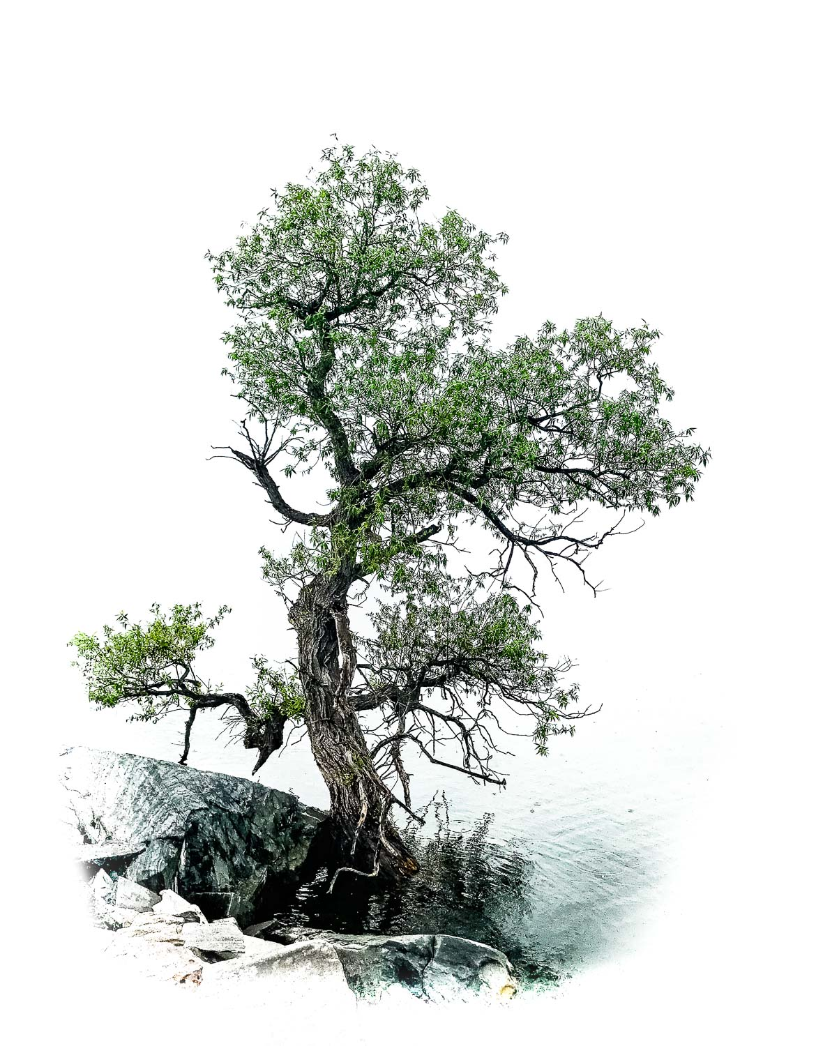 bonsai on the lake