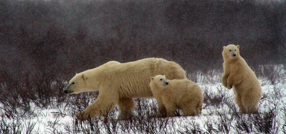polar-bear-and-cubs-2821902_960_720.jpg