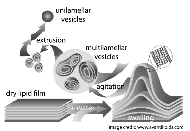Schematic representation of liposome preparation by swelling of a dried lipid film, followed by extrusion.