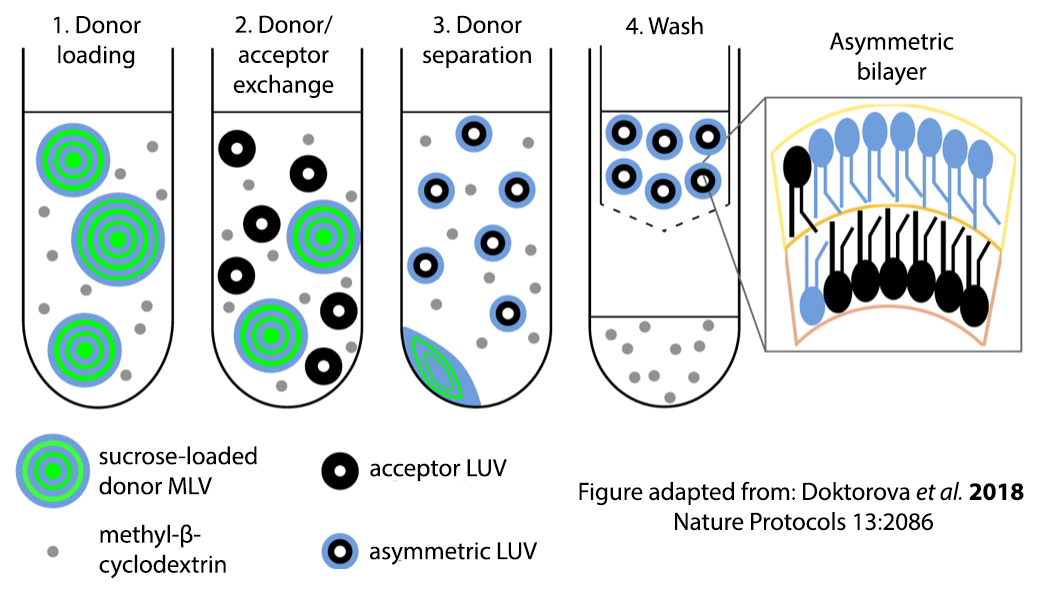 Recipe for the preparation of asymmetric vesicles using cyclodextrin-mediated exchange. Image adapted from  Doktorova et al. 2018 Nature Protocols 13:2086 .