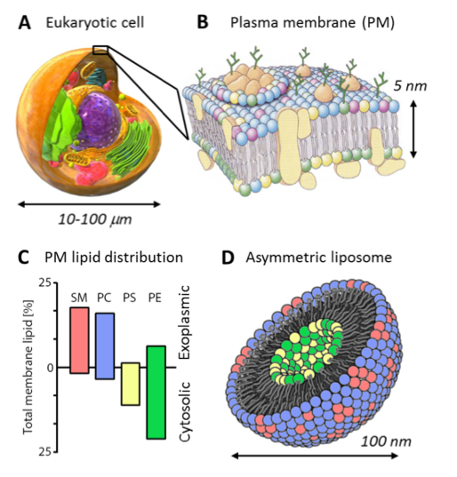 The plasma membrane that surrounds a cell has a distinctive compositional asymmetry, with sphingomyelin and PC lipids enriched in the outer leaflet and the aminophospholipids PS and PE enriched in the inner leaflet. In the field of membrane biophysics, a long standing goal is the preparation of liposomes that mimic this asymmetry.