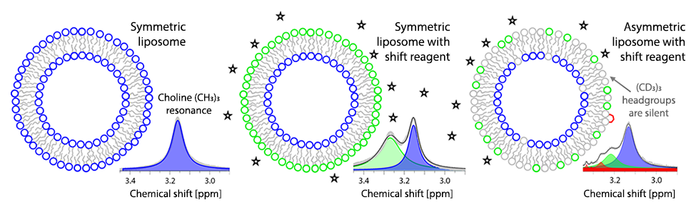 Proton NMR combined with the use of a shift reagent such as Pr3+ can separately resolve the inner and outer leaflet lipids with a protiated (i.e., 1H-containing) choline headgroup (left and center panels). When liposomes have a mixture of protiated and deuterated choline headgroups, only the protiated lipid is observed (right panel). If the protiated and deuterated lipids are initially asymmetrically arranged, the spontaneous flip-flop rate of the lipid can be determined by measuring the change in the transbilayer distribution over time.