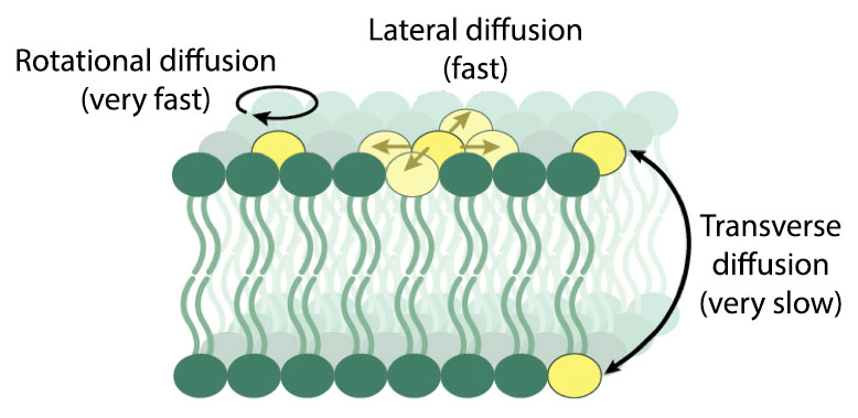 Lipids exhibit different motions with characteristic timescales. The spontaneous movement of lipids between leaflets is among the slowest motions, occurring on a timescale of days to weeks.