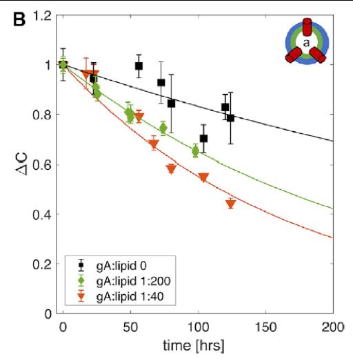 Adding the transmembrane protein gramicidin to asymmetric bilayers speeds up lipid flip-flop. Image from  Doktorova et al. 2019 Biophys. J. 116:860.