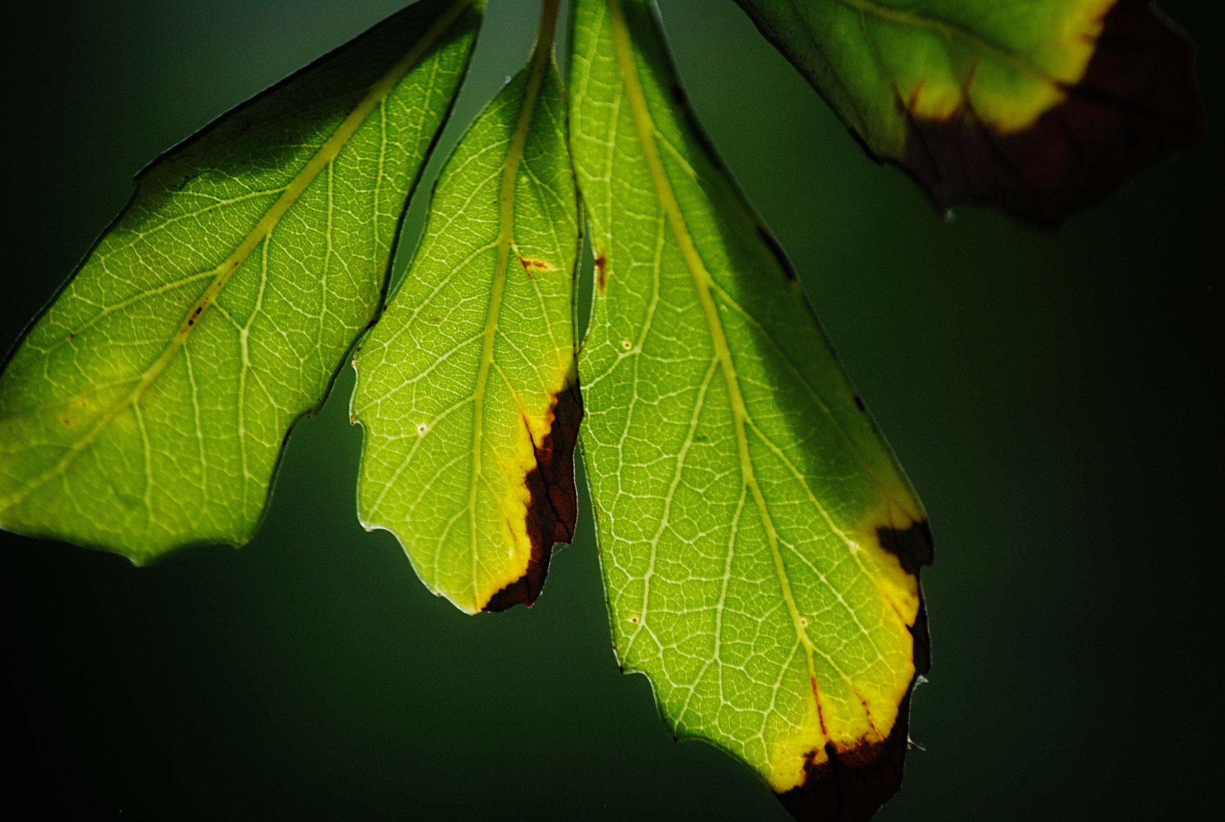 3 leaves.jpg