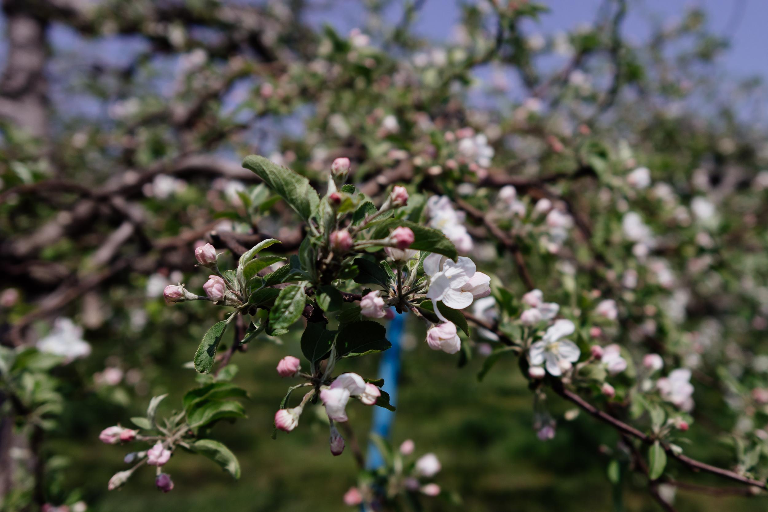 Blossoms Asemi Fukushima
