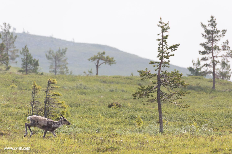 Un jeune renne courant rejoindre la harde