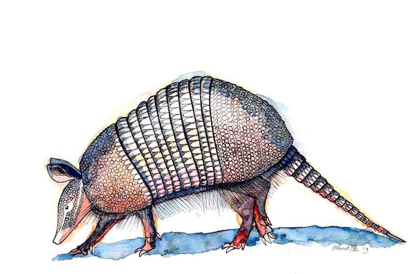 illustratie tekening gordeldier armadillo, inkt met aquarelverf. print artprint kunstwerk