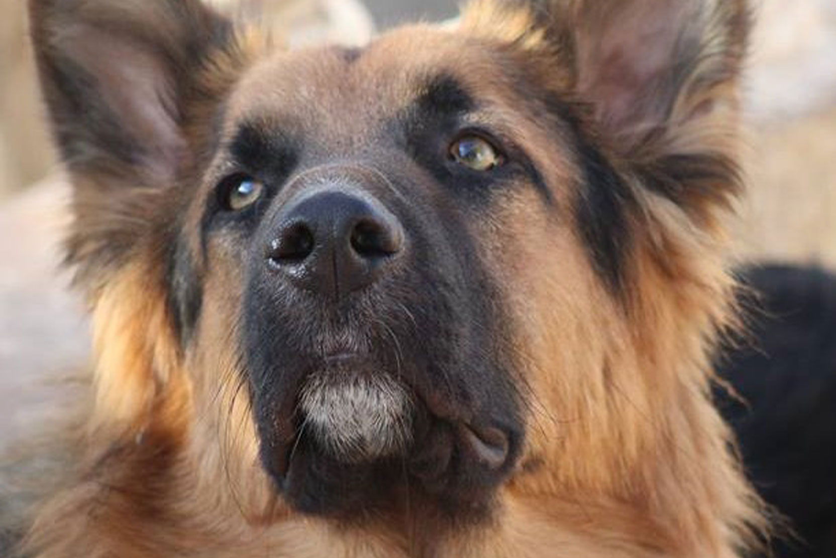 SFT_Adopt_Dogs_Profile_Storm_01.jpg