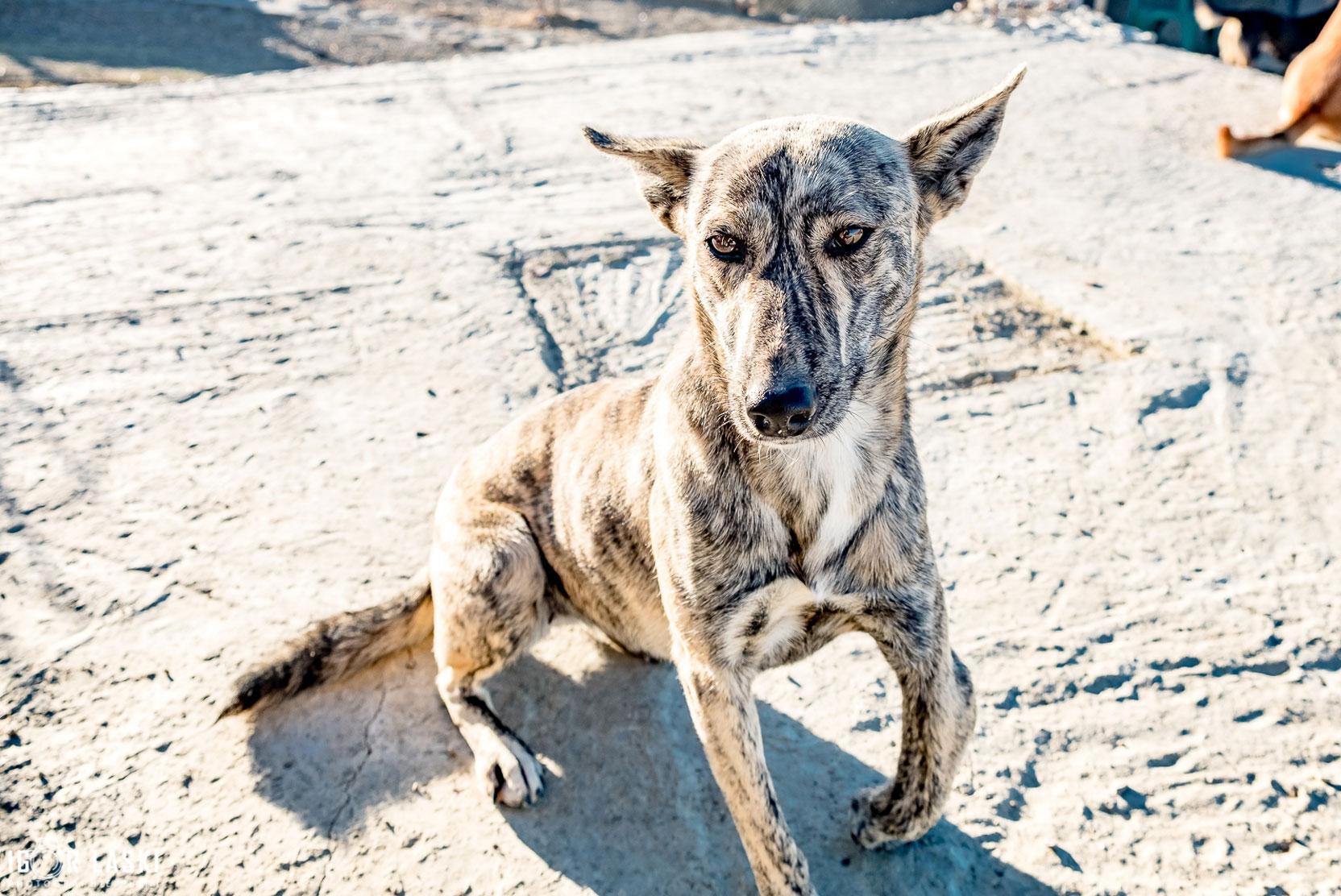 SFT_Adopt_Dogs_Profile_Stripey_01.jpg