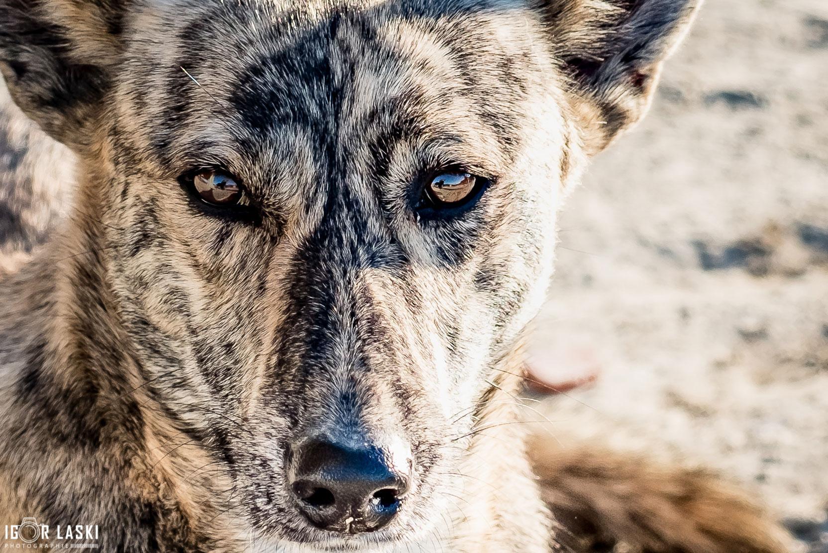 SFT_Adopt_Dogs_Profile_Stripey_02.jpg