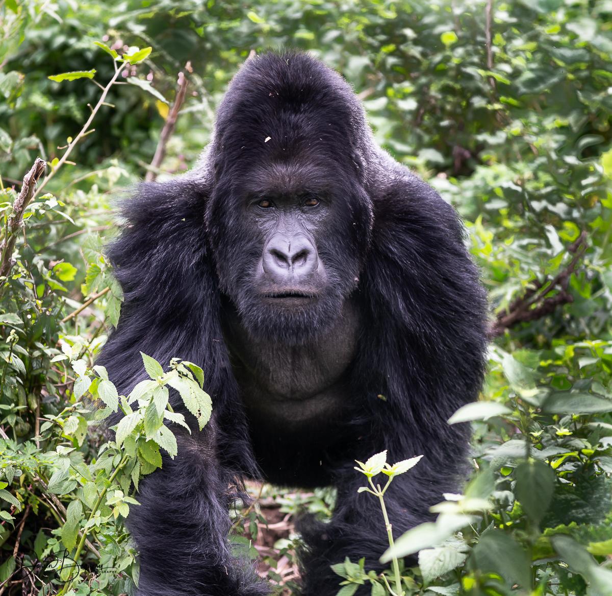 Rwanda Gorillas Revisited - cover