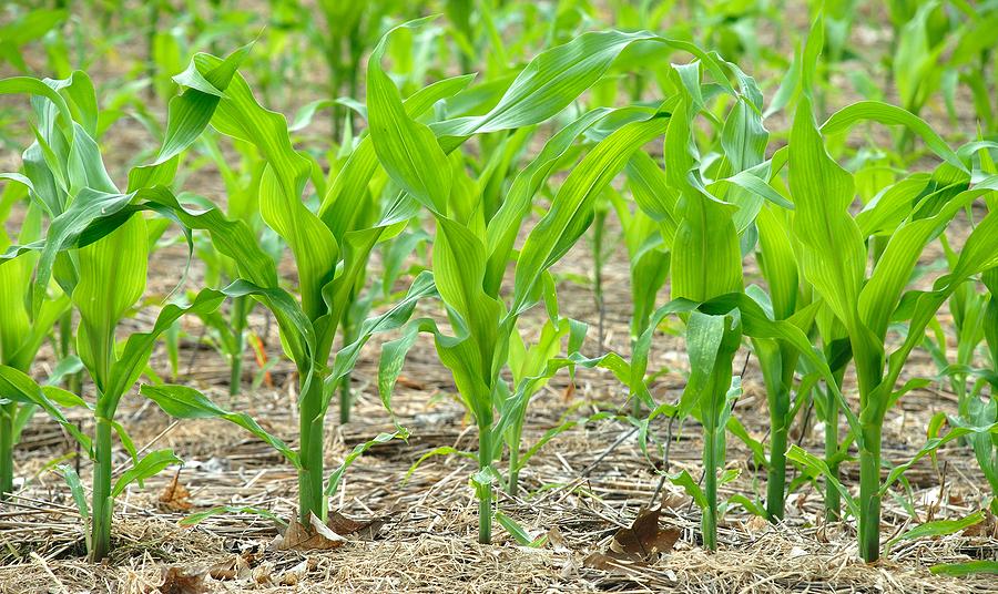 Corn-seedlings.jpg