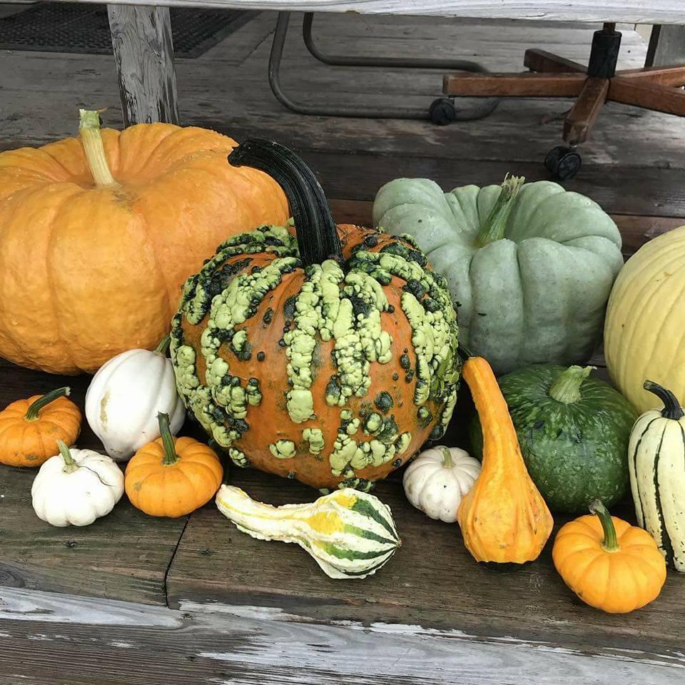 meuschke farms pumpkin variety.jpg
