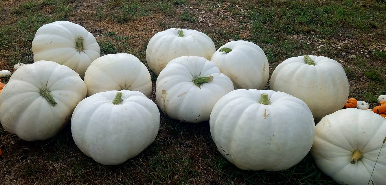 meuschke farms white pumpkins - Copy.jpg