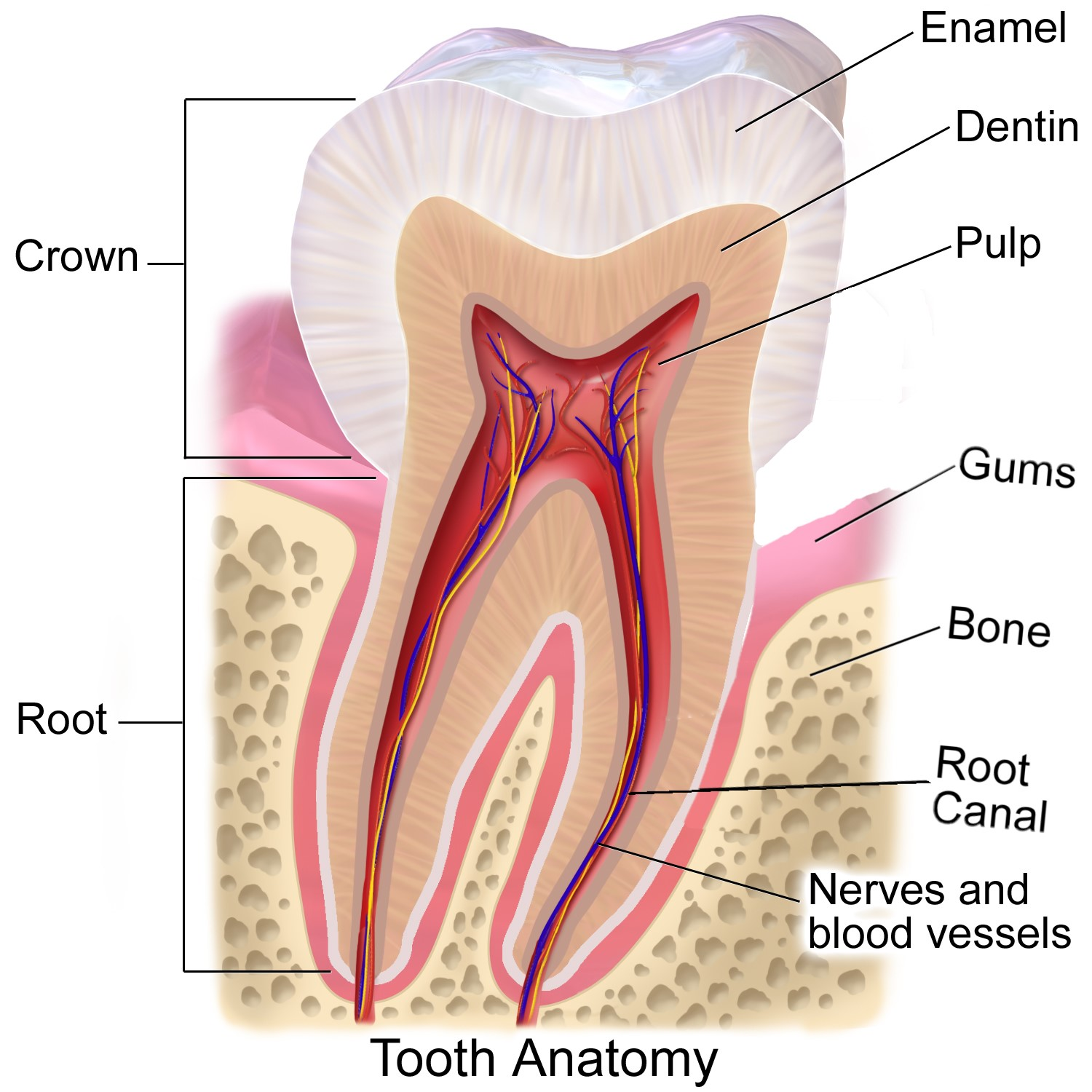 Tooth Anatomy - Dentine Exposure