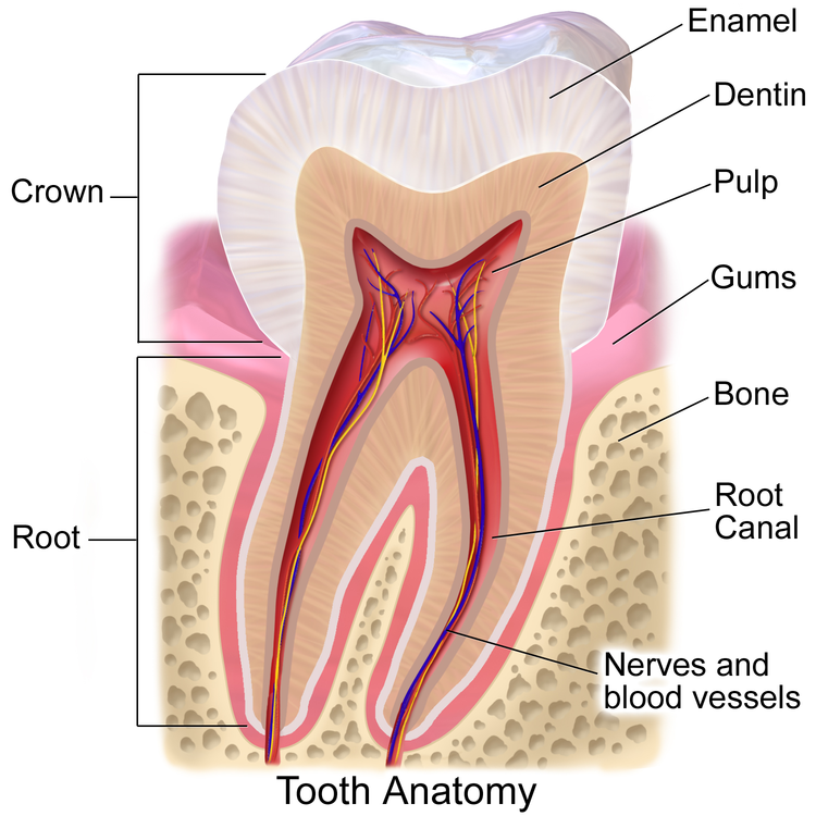Figure 2. Seven Hills Dentist Blacktown Dentist - Tooth Anatomy